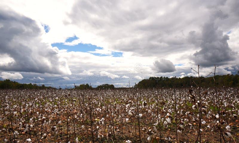 Широкоформатный взгляд поля хлопка осенью перед штормом стоковое фото rf