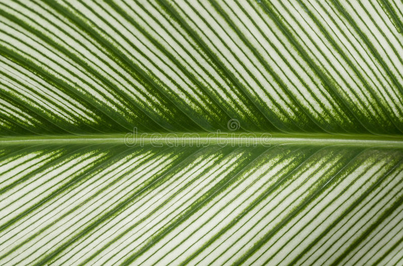 Широко striped предпосылка листьев стоковое фото rf