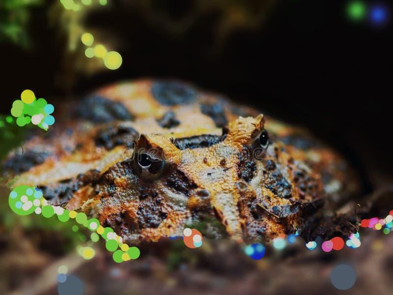 Широк-изреченная лягушка смотрит кормов из скрывания стоковые фотографии rf