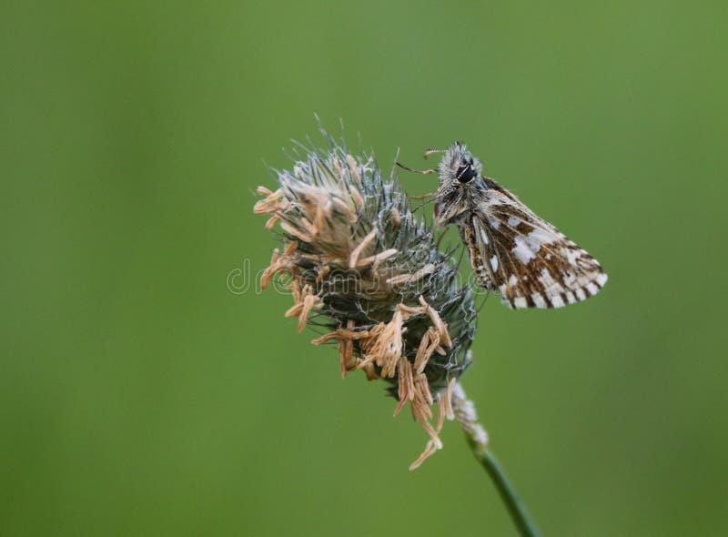 Шкиперы семья, Hesperiidae, чешуекрылые, сумеречниц и бабочек стоковые изображения rf