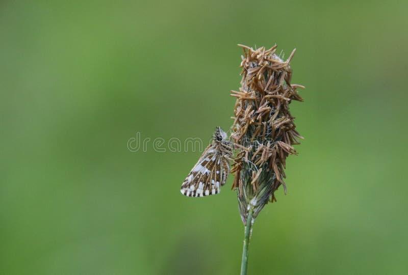 Шкиперы семья, Hesperiidae, чешуекрылые, сумеречниц и бабочек стоковое изображение