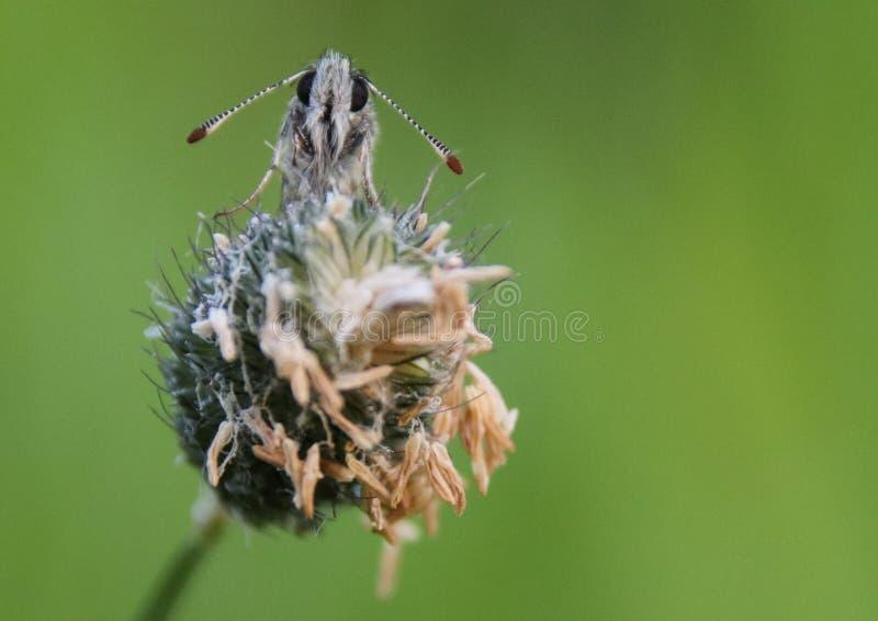 Шкиперы семья, Hesperiidae, чешуекрылые, сумеречниц и бабочек стоковые фото