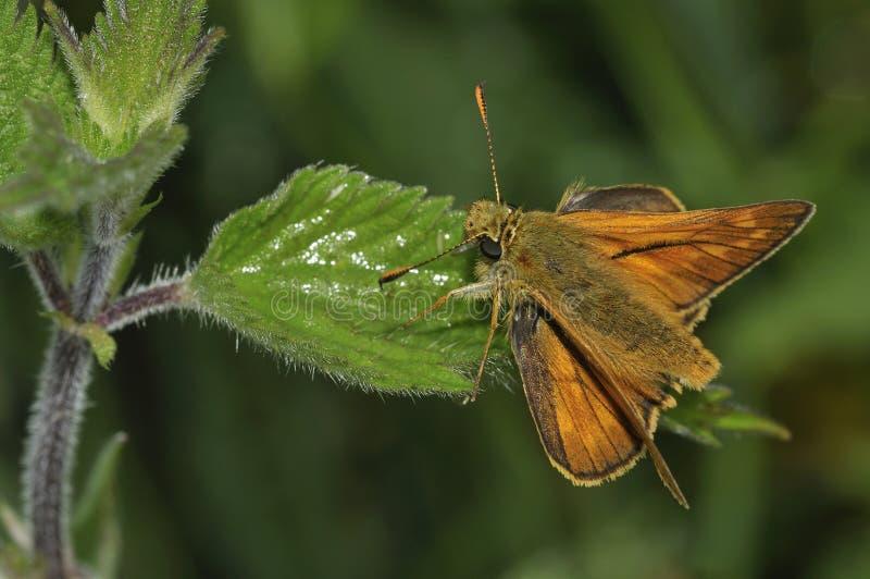 шкипер бабочки большой стоковая фотография rf