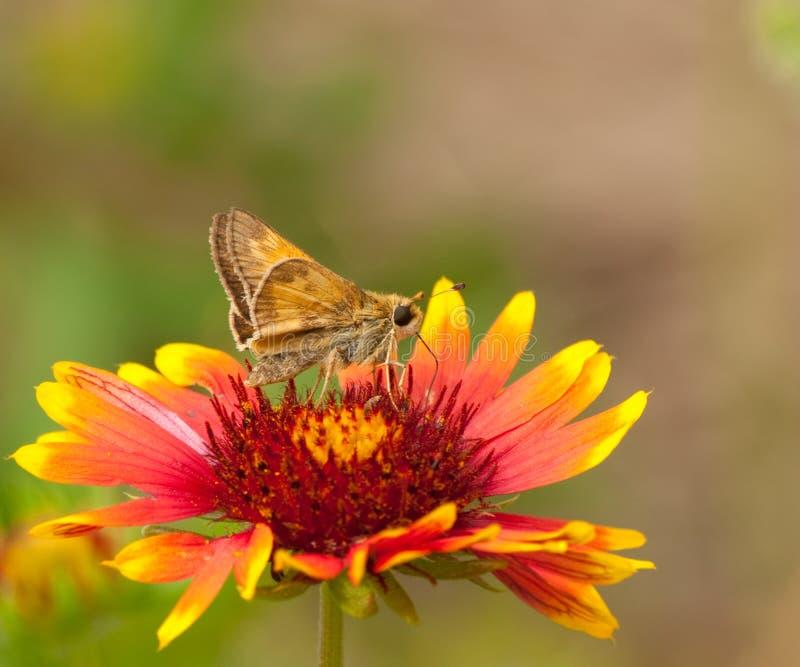 шкипер бабочки индийский малюсенький стоковые фото