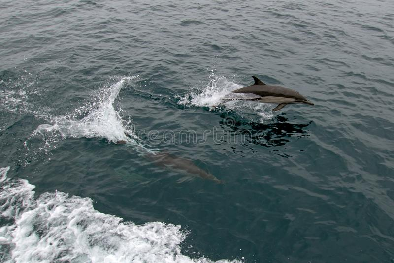 Школа/стручок общих дельфинов носа бутылки в Тихом океане между Санта-Барбара и островами канала в Калифорния стоковая фотография rf