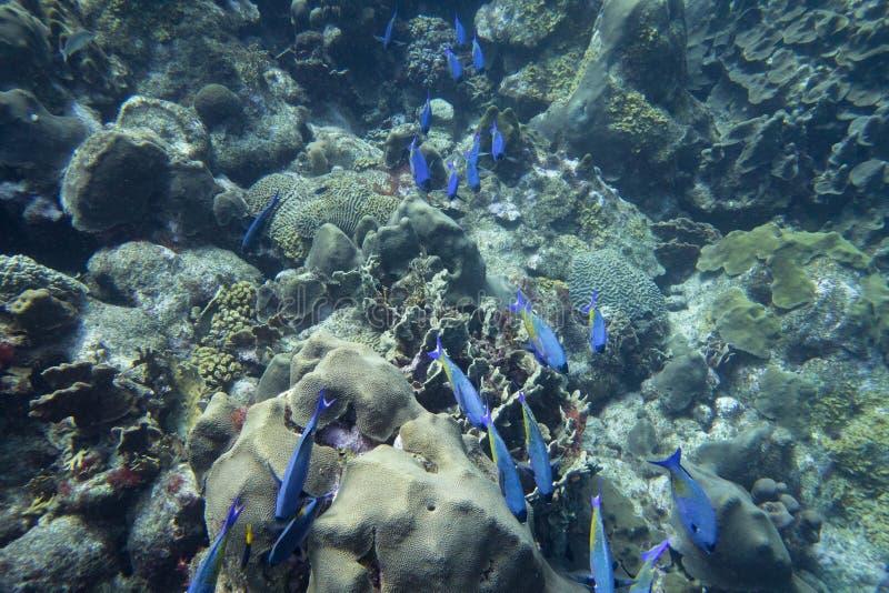 Школа wrass креола спеша под водой стоковое фото