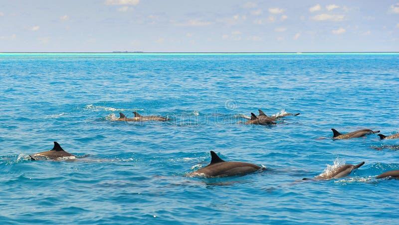 Download Школа одичалых Dolphiins плавая в море Laccadive Стоковое Изображение - изображение насчитывающей мальдивы, морск: 40578173