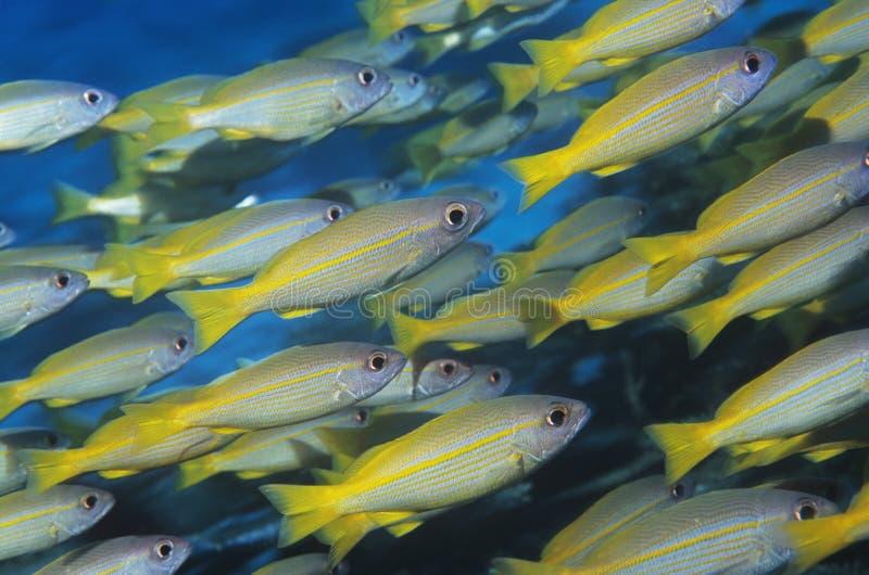 Школа тропических рыб в океане стоковые изображения rf