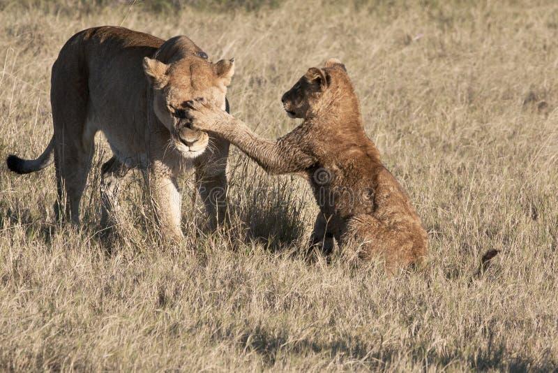 шлепать львицы новичка стоковая фотография rf