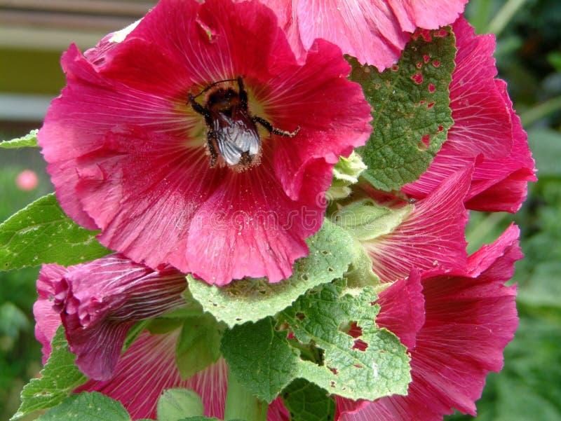 Шмель в розовом цвести hollyhock стоковое фото rf