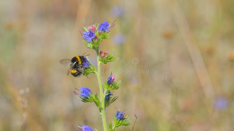 Шмель ища нектар на цветке стоковые фотографии rf