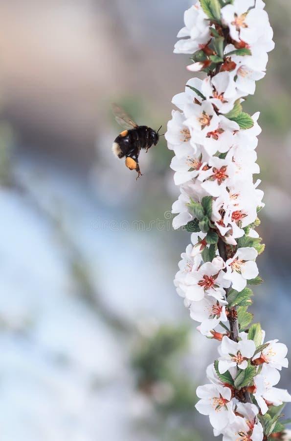 Шмель летает вокруг и собирает нектар от blossoming бюстгальтера стоковое изображение