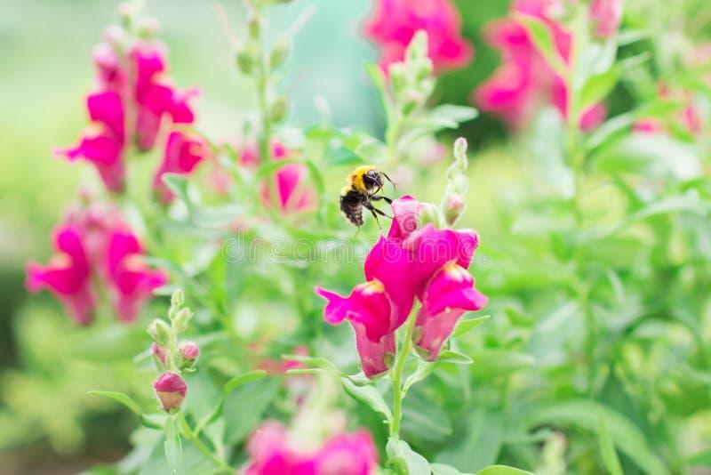 Шмель летает над розовыми цветками стоковая фотография