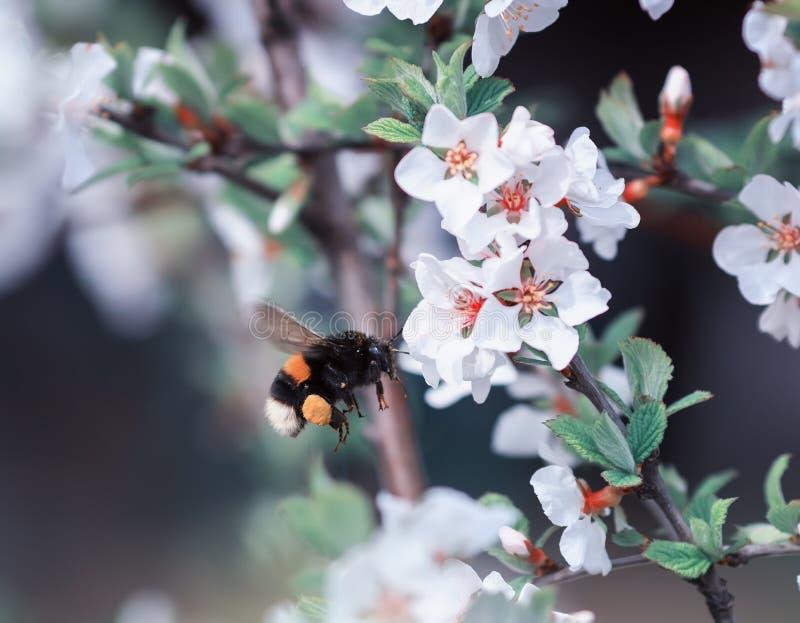 Шмель насекомого летает до вишневых цветов в может spri стоковые фотографии rf