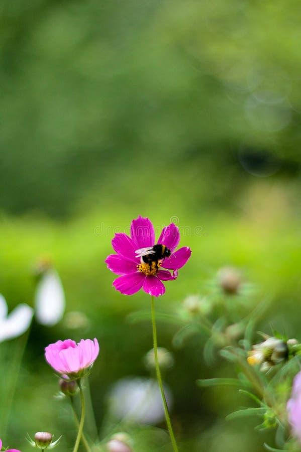 Шмель на цветке, вертикальное фото стоковое фото