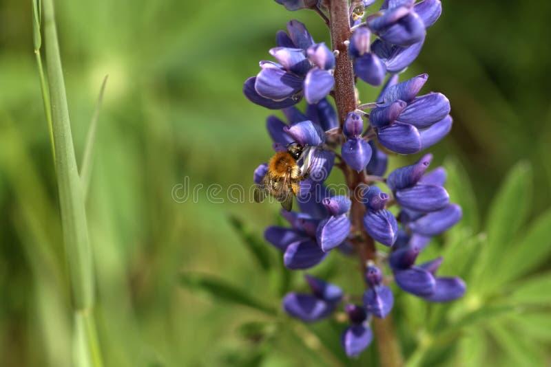 Шмель на цветке стоковое фото rf