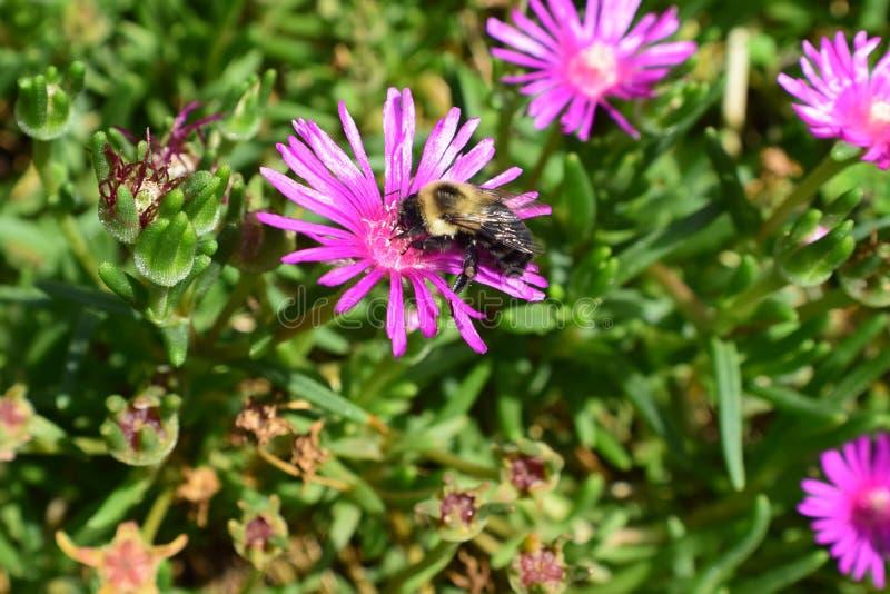 Шмель на dainty фиолетовом цветке стоковые изображения rf