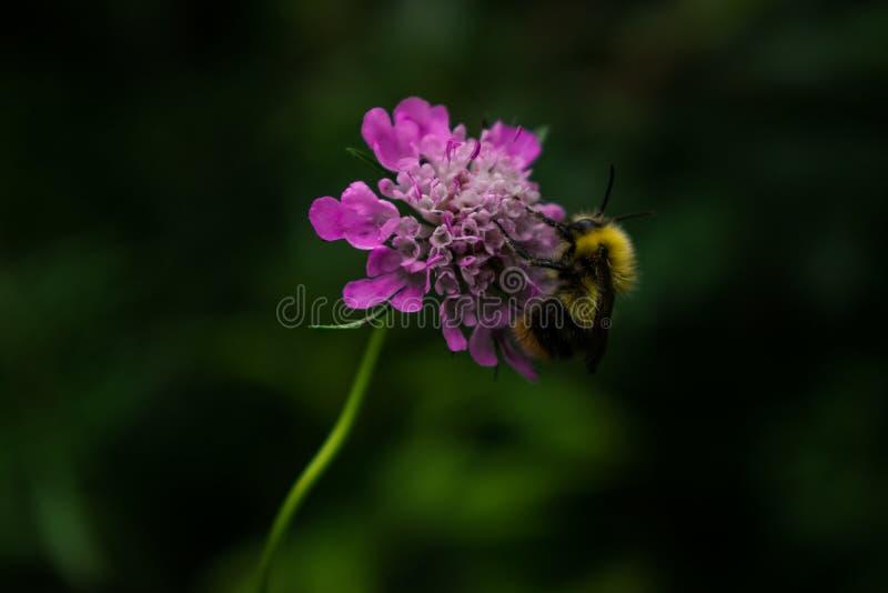 Шмель на wildflower стоковые изображения rf