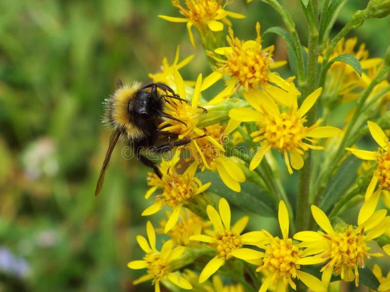Шмель опыляет желтые цветки в поле стоковые фото
