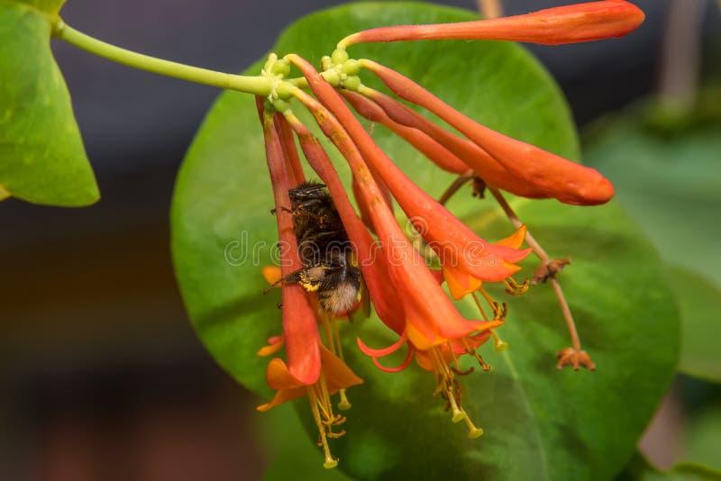 Шмель собирает нектар от цветков стоковые фото