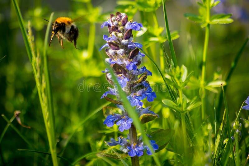 Шмель летает далеко от wildflower стоковая фотография