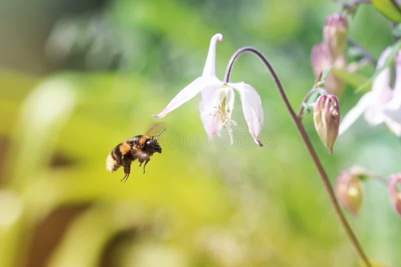 Шмель летает до розового колокола цветка стоковое фото