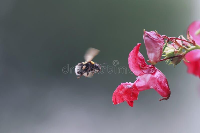 Шмель насекомых летает к цветку водораздела для сладостного нектара стоковые изображения rf