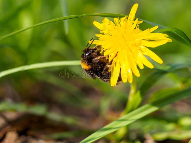 Шмель на желтом цветке 2 стоковые фотографии rf