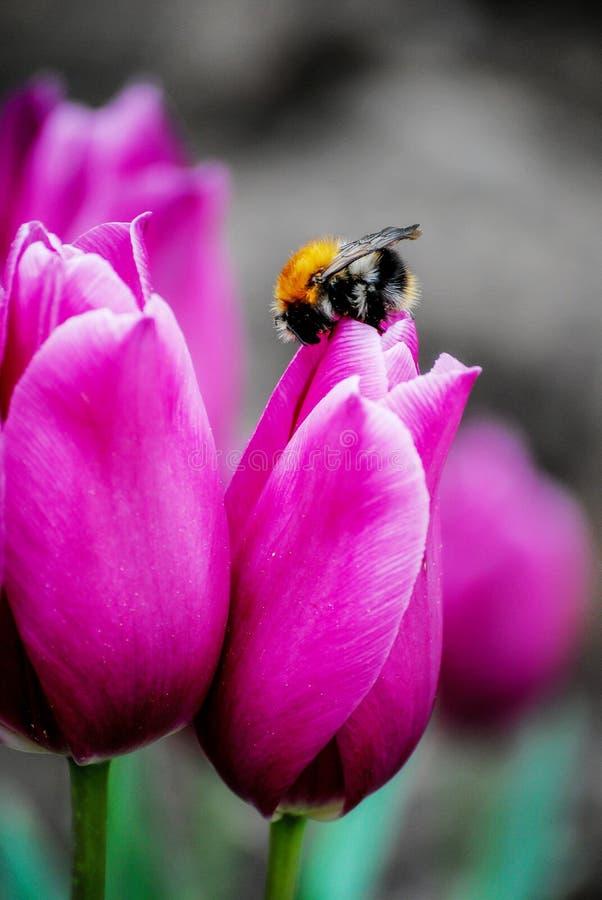 Шмель на красивом цветке стоковые фото