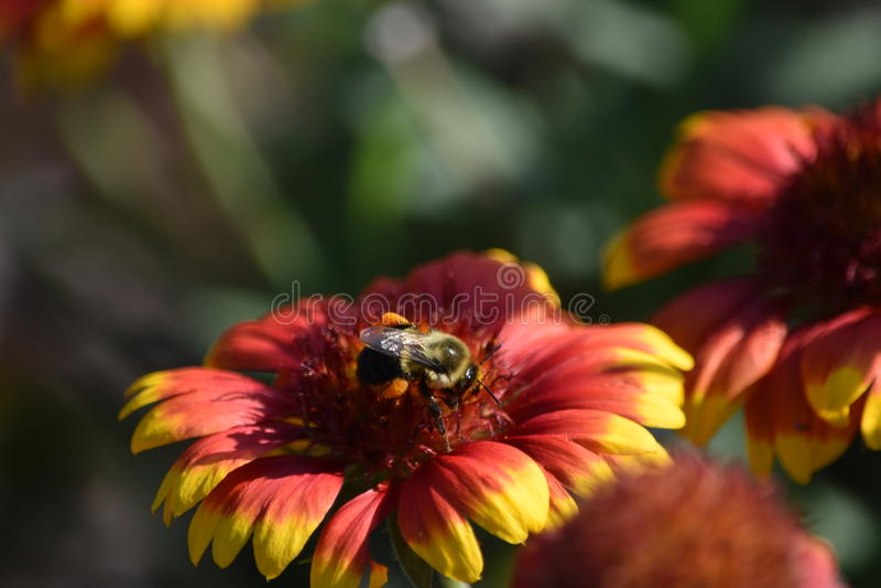 Шмель на цветке одеяла стоковое фото
