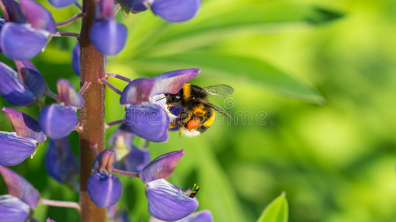 Шмель с фиолетовым lupine стоковые изображения rf