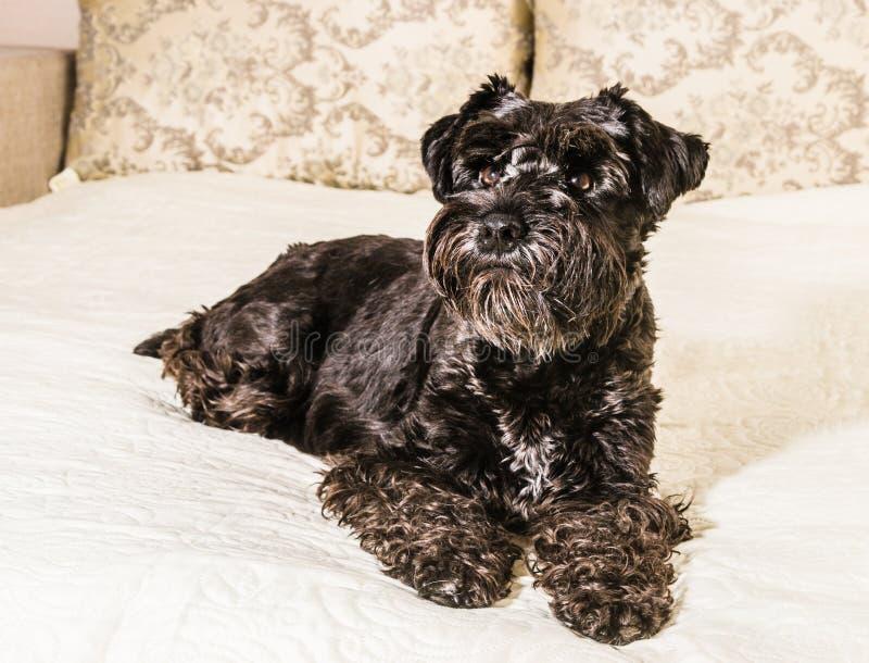 Шнауцер породы собаки миниатюрный стоковое фото rf