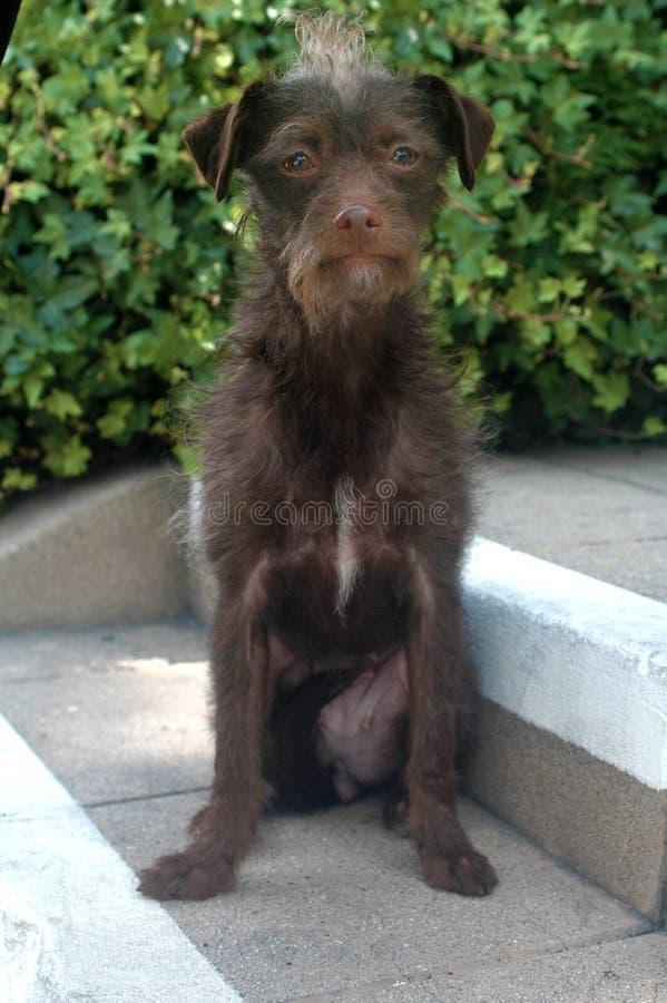 Шоколад - щенок породы смешивания коричневого терьера провода с волосами женский на шагах стоковое фото rf