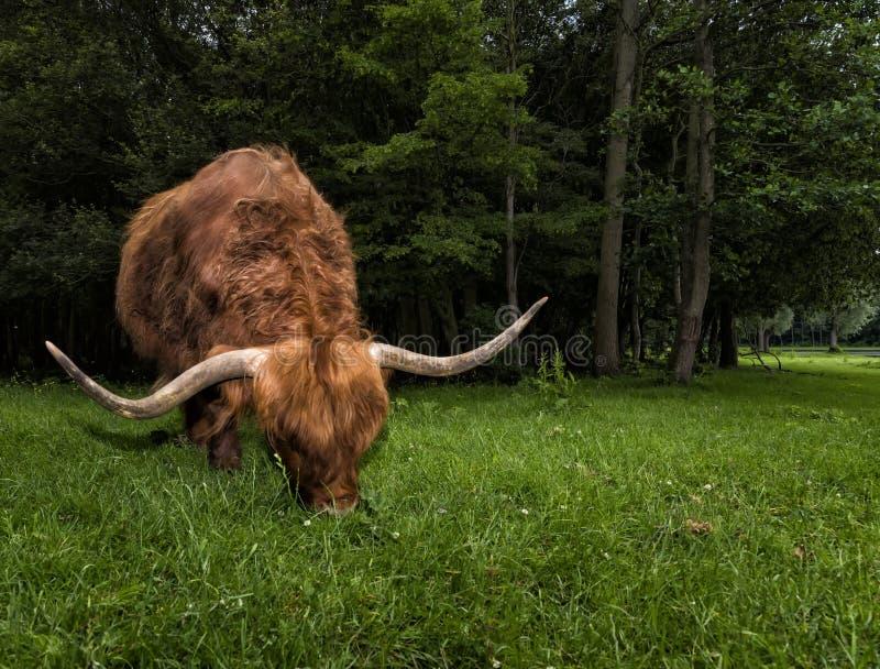 Шотландская корова гористой местности пася на траве в Шотландии стоковые изображения