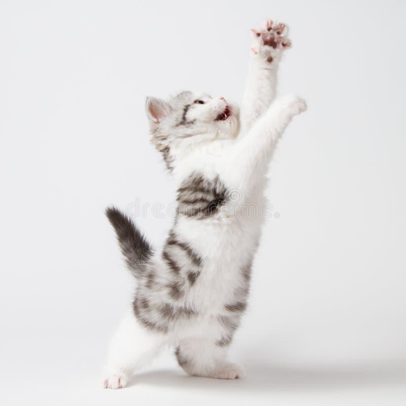 Шотландские игры котенка на белой предпосылке стоковое изображение rf
