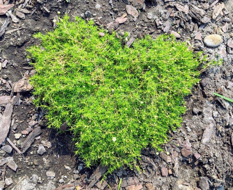 Шотландский или ирландский мох растя в саде в форме сердца стоковые фото