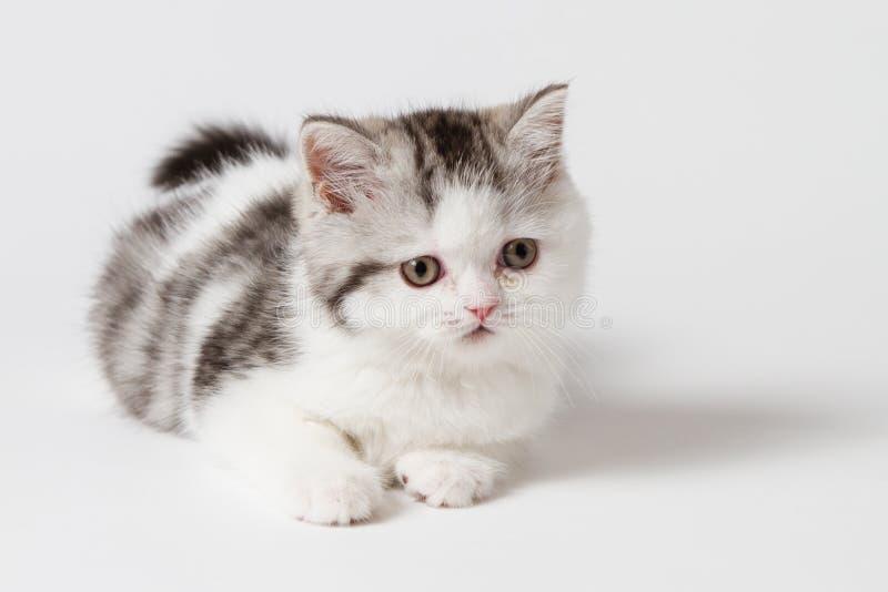 Шотландский котенок лежа на белой предпосылке стоковые фотографии rf