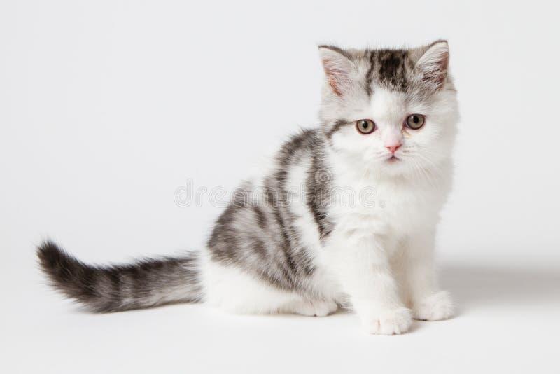 Шотландский котенок сидя на белой предпосылке стоковые фотографии rf