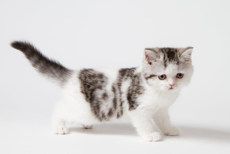 Шотландский котенок стоя на белой предпосылке стоковое изображение rf