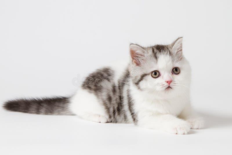 Шотландский прямой котенок лежа на белой предпосылке стоковая фотография