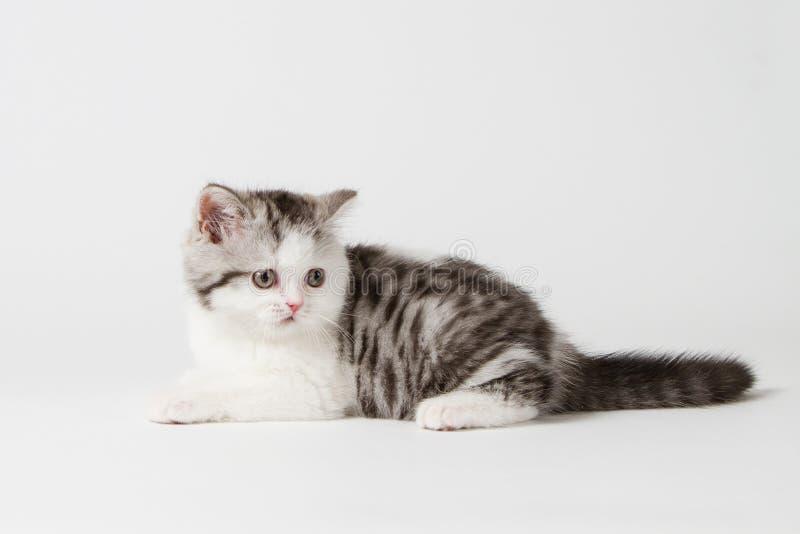 Шотландский прямой котенок лежа на белой предпосылке стоковое фото rf