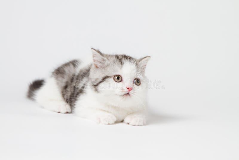 Шотландский прямой котенок лежа на белой предпосылке стоковое изображение rf