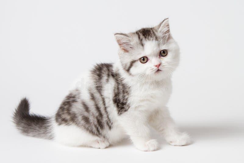 Шотландский прямой котенок сидя на белой предпосылке стоковые изображения rf