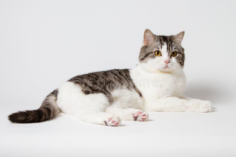 Шотландский прямой кот лежа на белой предпосылке стоковое фото