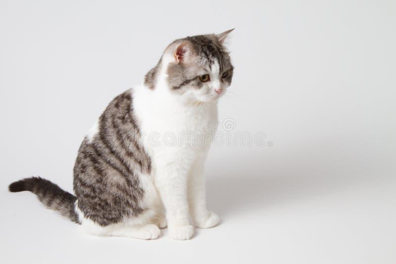 Шотландский прямой кот сидя на белой предпосылке стоковые фотографии rf