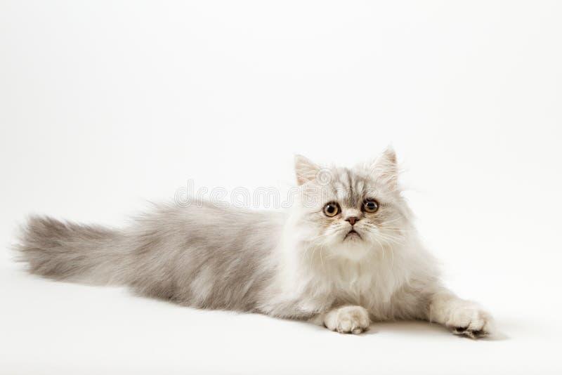 Шотландский прямой longhair котенок лежа на белой предпосылке стоковые фотографии rf