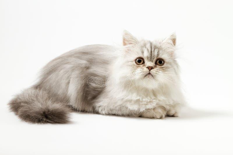 Шотландский прямой longhair котенок лежа на белой предпосылке стоковые изображения rf
