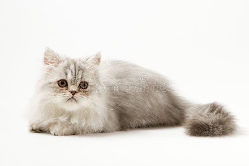 Шотландский прямой longhair котенок лежа на белой предпосылке стоковое фото