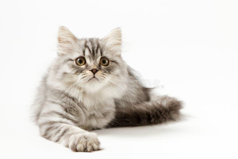 Шотландский прямой longhair котенок лежа на белой предпосылке стоковое изображение