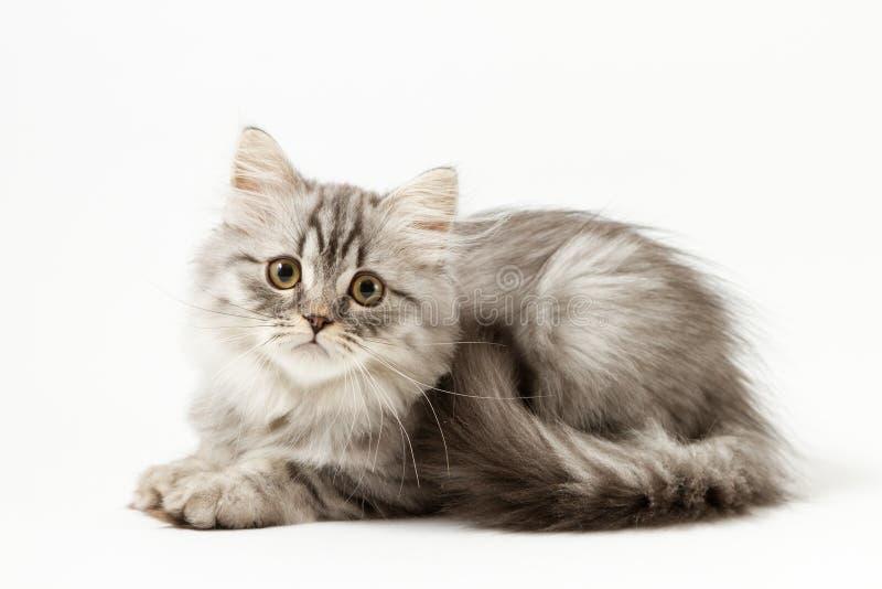 Шотландский прямой longhair котенок лежа на белой предпосылке стоковое изображение rf